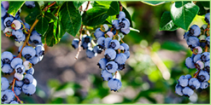 organicXberries